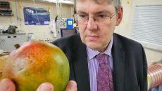 تشخیص رسیده بودن میوه ها با بینی الکترونیکی